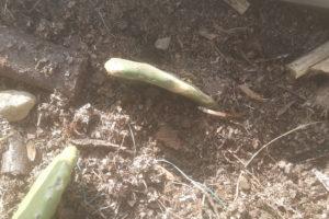 una foglia (pala) di fico d'india appena piantata nel periodo primaverile