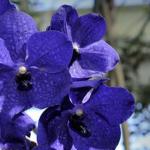 L'orchidea blu, la Vanda Cerulea.