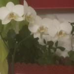 L'orchidea bianca. Il significato e come coltivarla