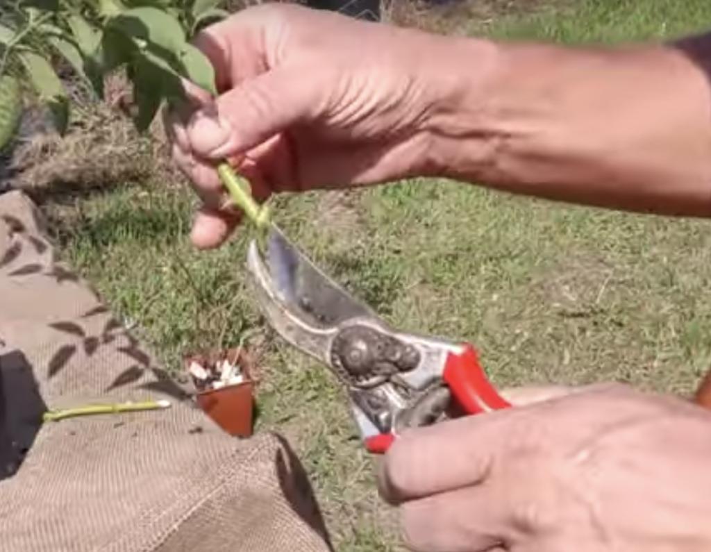 come tagliare il ramo - talea rosa