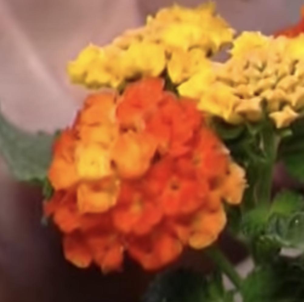 verbena arancione e gialla