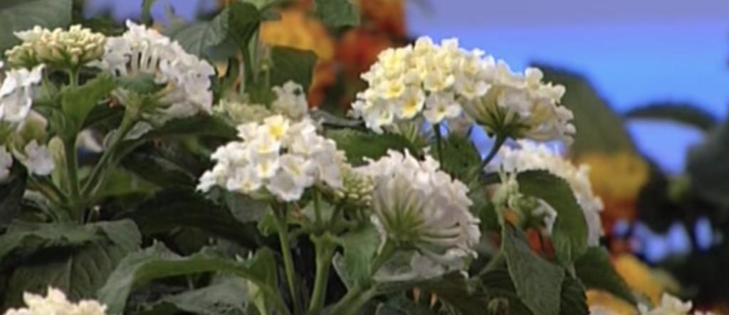 verbena bianca - la pianta