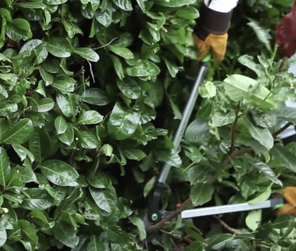 giardino a giugno - ricacci siepe - potatura