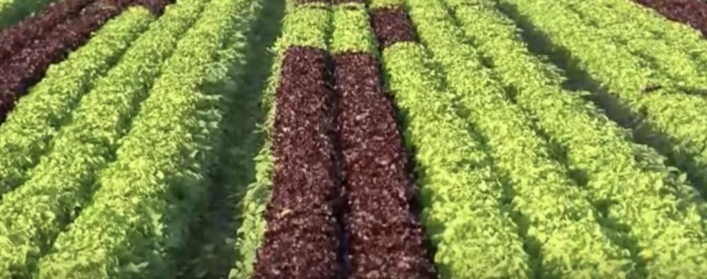 lattuga - la coltivazione
