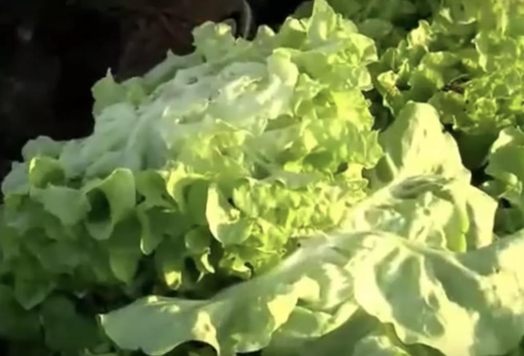 lattuga - guida alla coltivazione