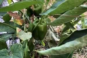 peperoni - la pianta ed il frutto