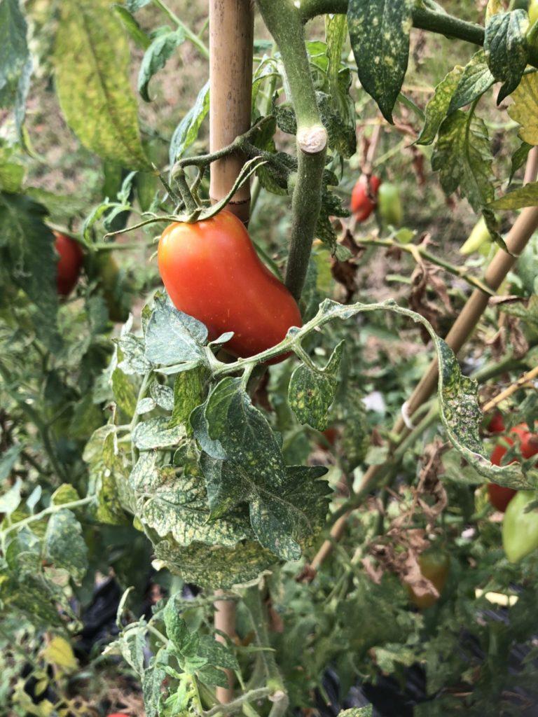 pomodori - la pianta