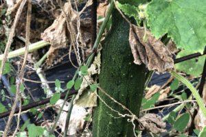 primo piano pianta di cetriolo