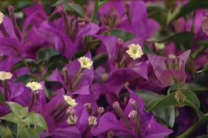 bouganville - piante rampicanti