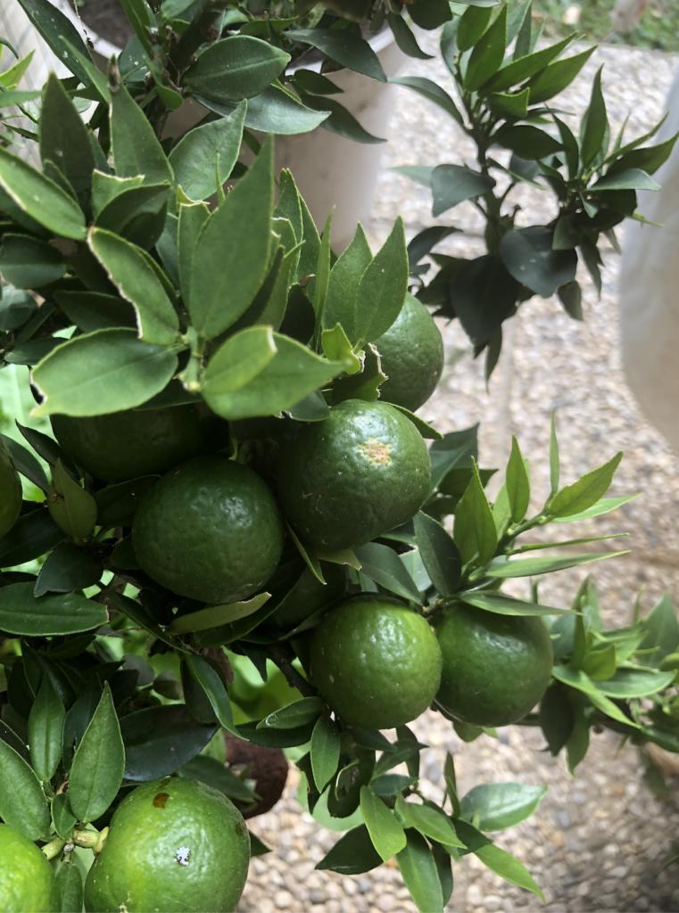 chinotto primo piano frutti acerbi