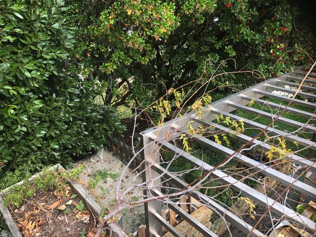 glicine in inverno - piante rampicanti