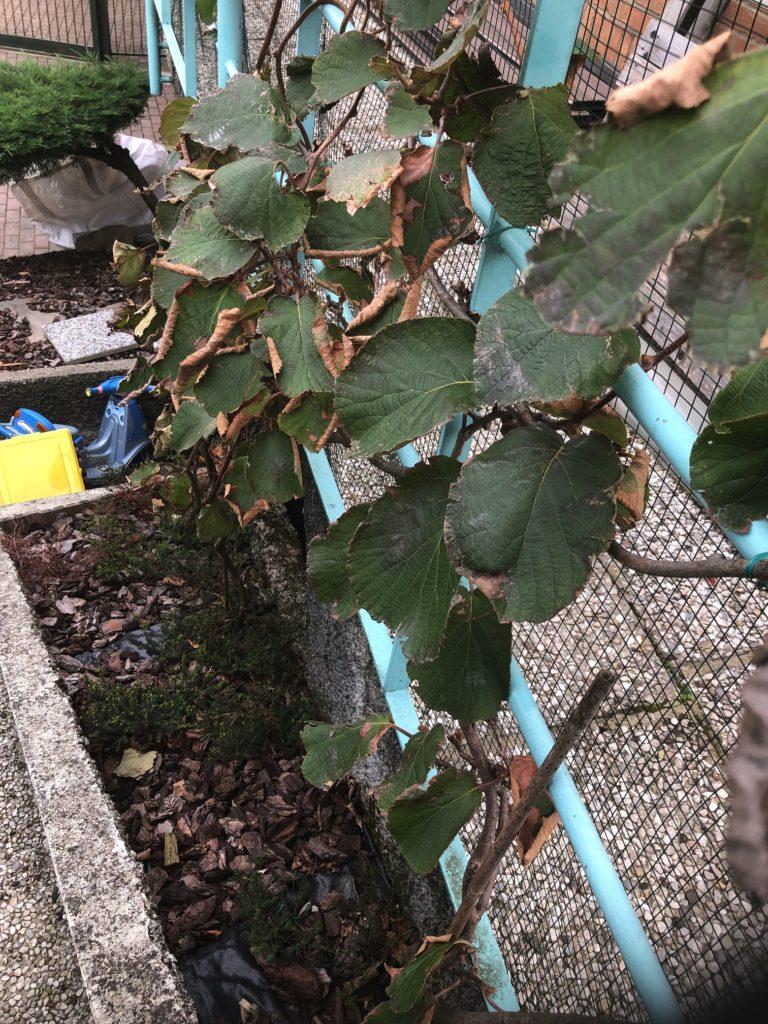 kiwi autunno- perdita foglie