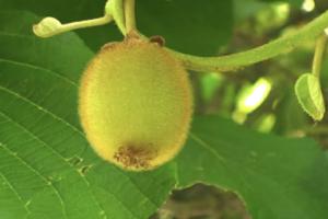 kiwi - il frutto