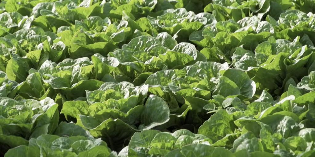 lattuga - la coltivazone