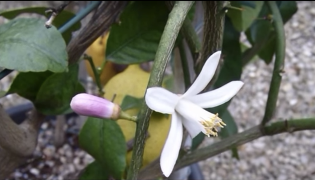 limone - i fiori