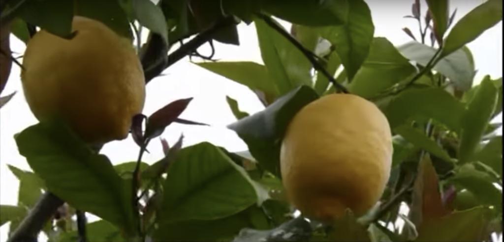 limone - il frutto