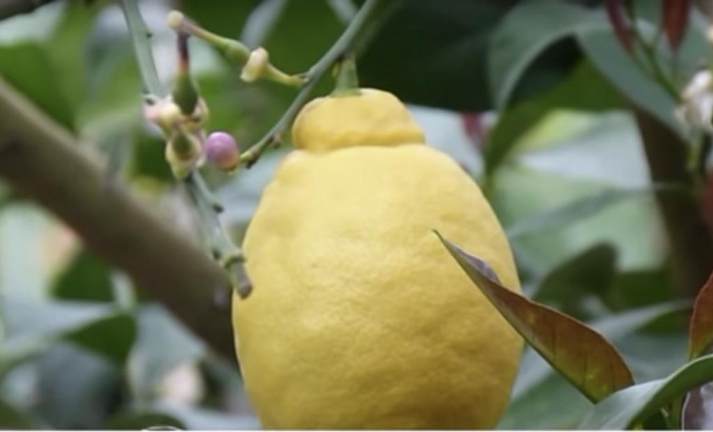 limone in primo piano