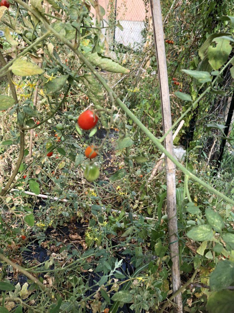orto ad agosto - coltivazione pomodori