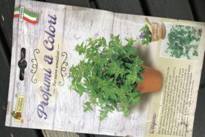 piante per il balcone - origano semi