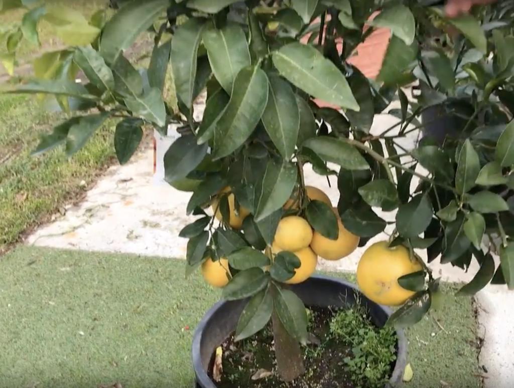 pompelmo - i frutti