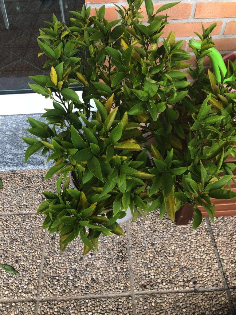 pompelmo - la pianta in vaso
