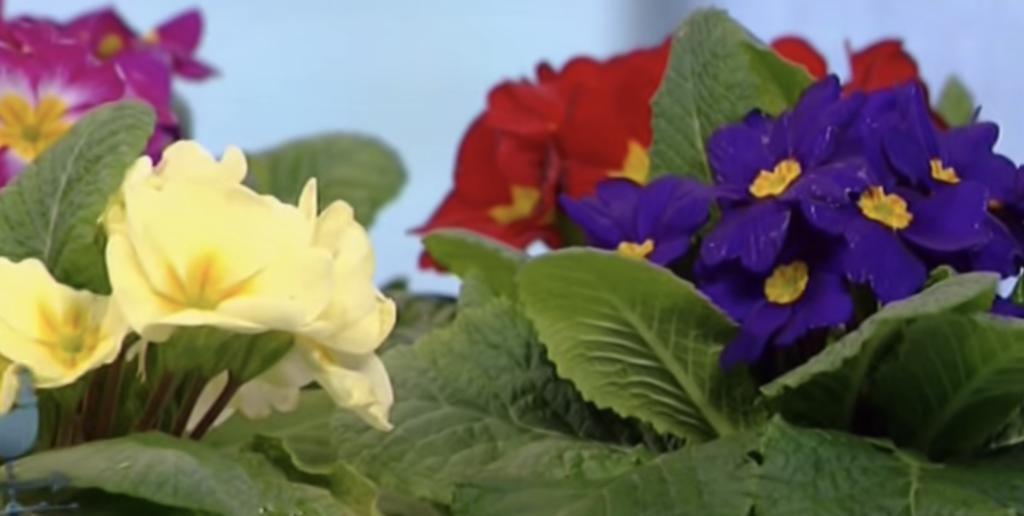 primule - fiori perenni