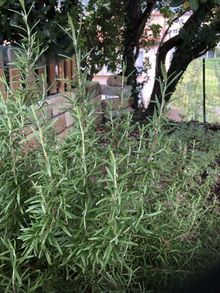 piante da balcone -rosmarino primo piano