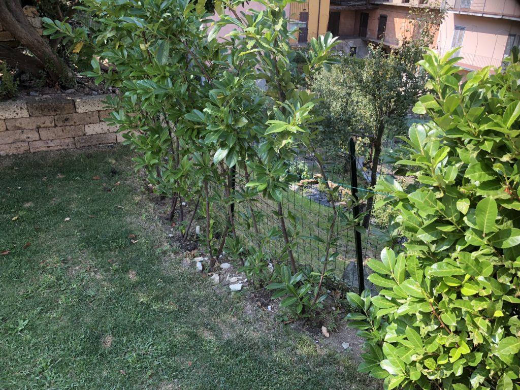 Piante Da Siepi Immagini tipi di siepi per il giardino - viziato.it