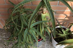 aloe arboriscensis - pianta di 8 anni