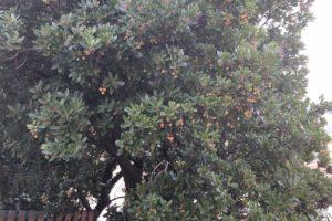 corbezzolo - la pianta