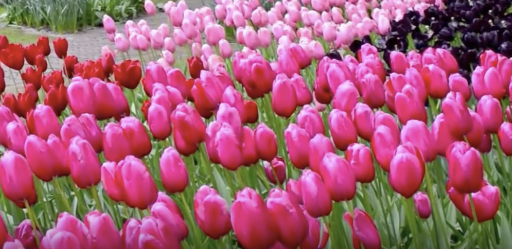 fioritura tulipani