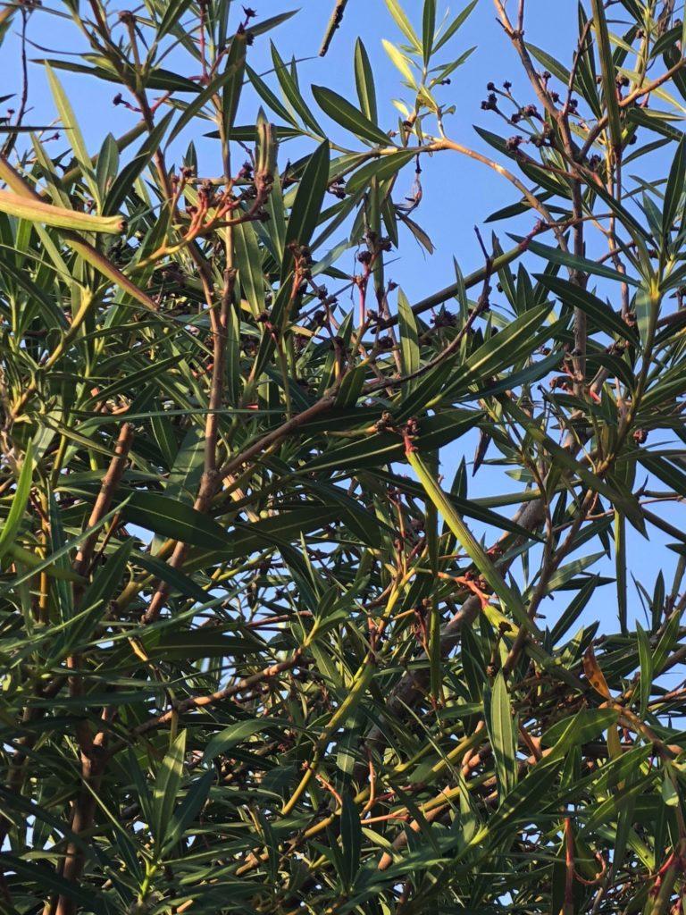 oleandro - la pianta